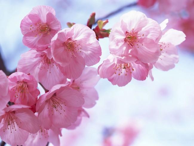 Пасха: Ужгород. Сакура и первоцветы.